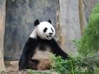 World's oldest panda in captivity dies