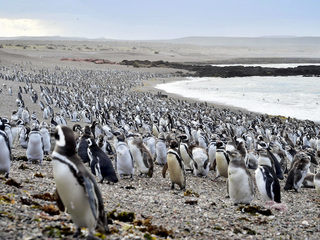 Fish draw 1 million penguins to Argentine shore