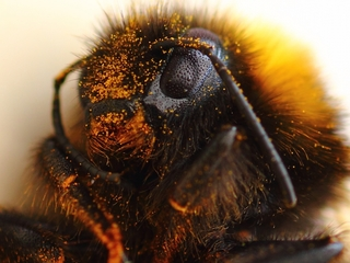 Nicotine may enhance memory in bees