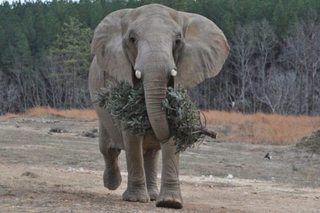 You can feed your Christmas tree to an elephant