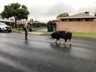 Deputy lures pig home with Doritos